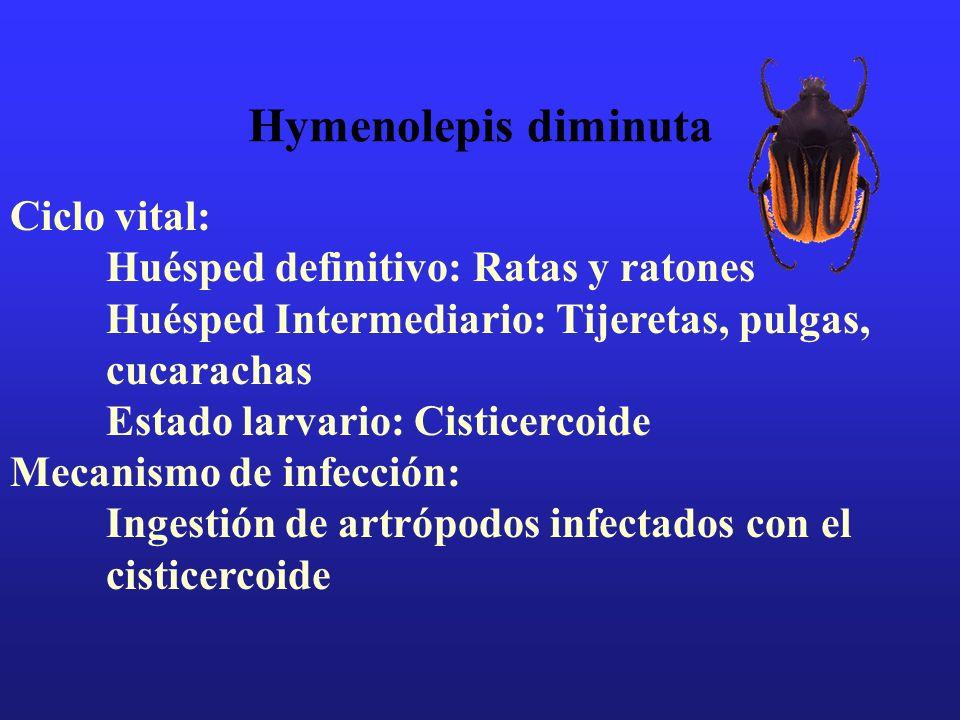 Hymenolepis diminuta Ciclo vital: Huésped definitivo: Ratas y ratones