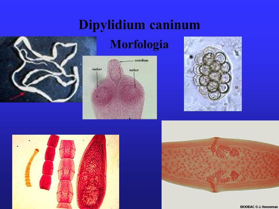 Dipylidium caninum Morfologia