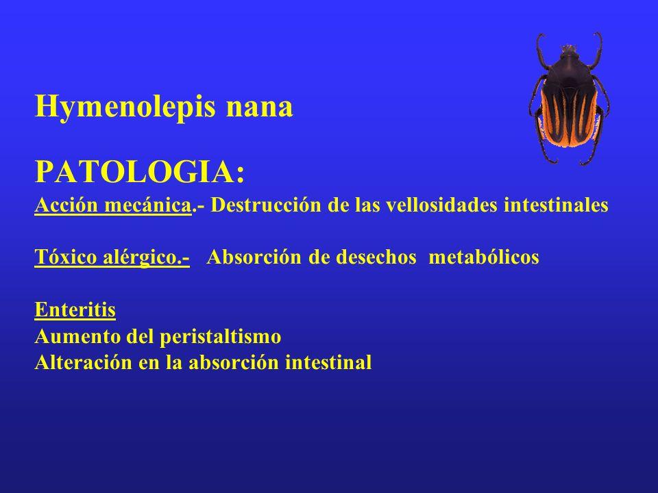 Hymenolepis nana PATOLOGIA: Acción mecánica