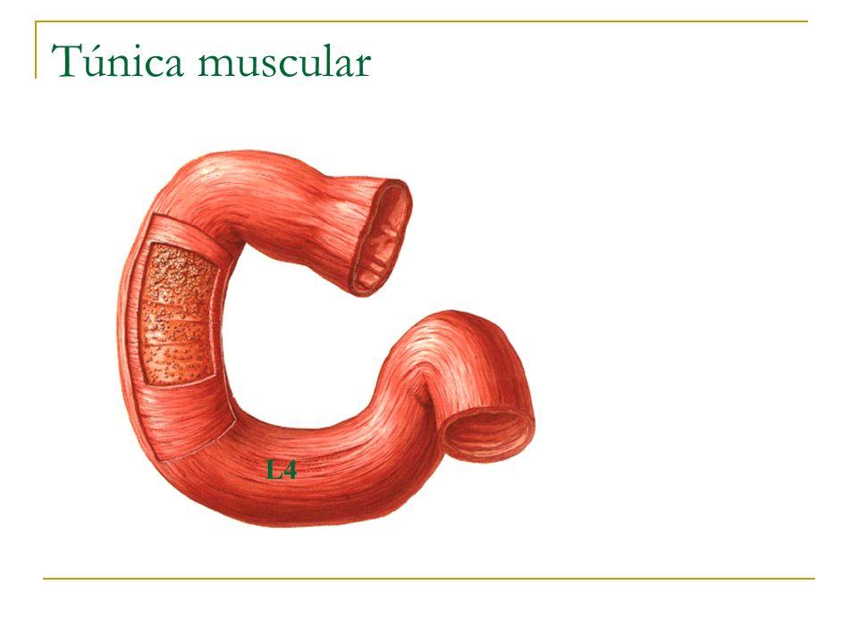 Túnica muscular UACh L4