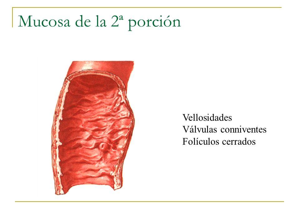 Mucosa de la 2ª porción UACh Vellosidades Válvulas conniventes