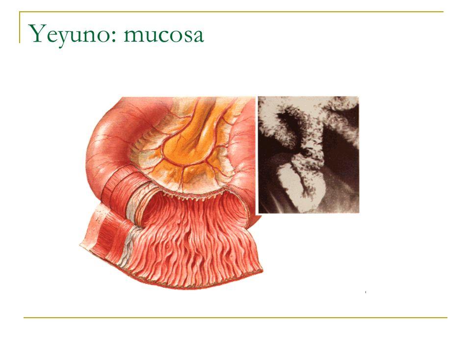 Yeyuno: mucosa UACh