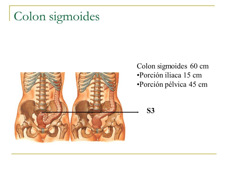 Colon sigmoides Colon sigmoides 60 cm Porción iliaca 15 cm