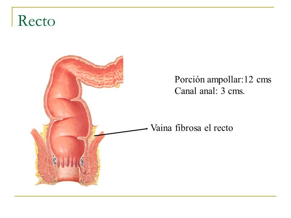 Recto UACh Porción ampollar:12 cms Canal anal: 3 cms.