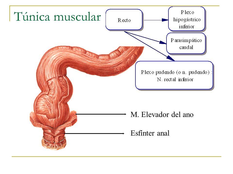 Túnica muscular M. Elevador del ano Esfínter anal UACh