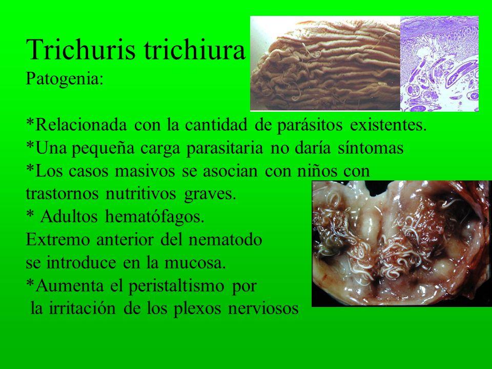 Trichuris trichiura Patogenia: