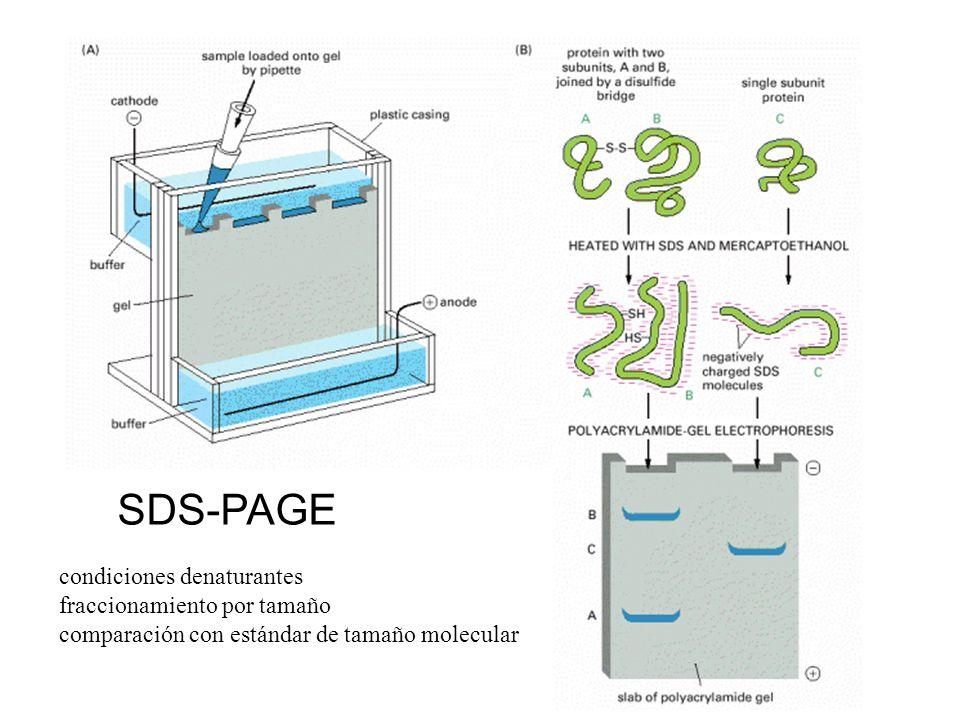 SDS-PAGE condiciones denaturantes fraccionamiento por tamaño