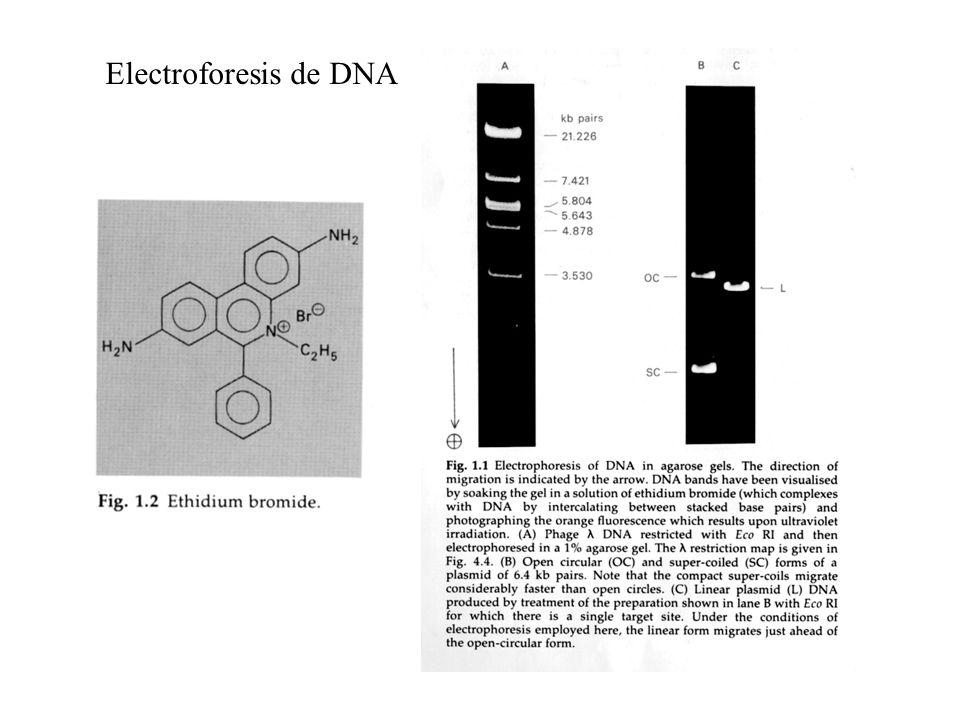 Electroforesis de DNA