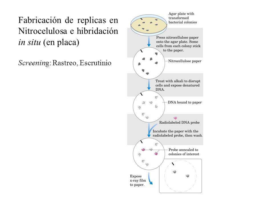 Fabricación de replicas en Nitrocelulosa e hibridación in situ (en placa)