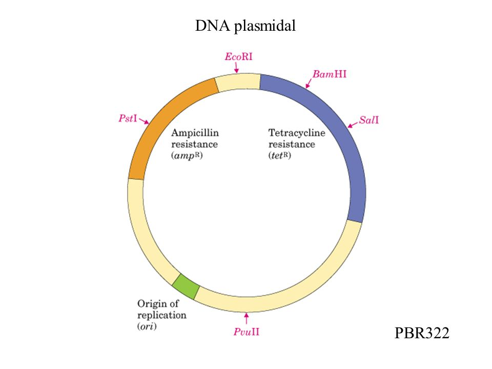 DNA plasmidal PBR322