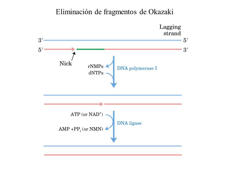 Eliminación de fragmentos de Okazaki