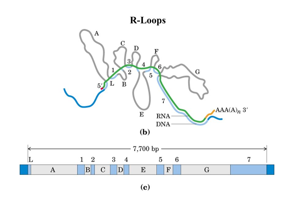 R-Loops