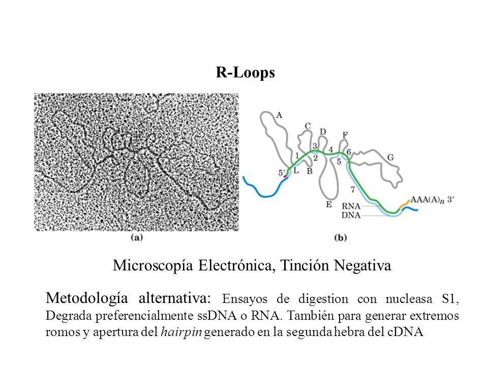 Microscopía Electrónica, Tinción Negativa