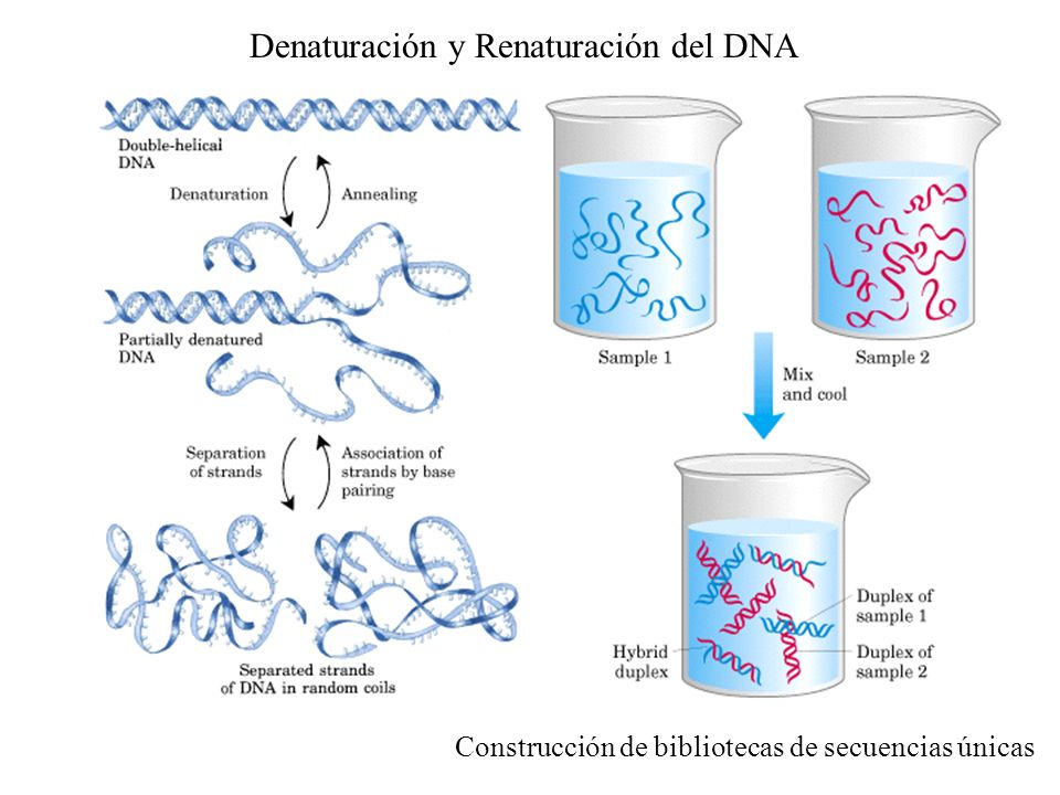 Denaturación y Renaturación del DNA