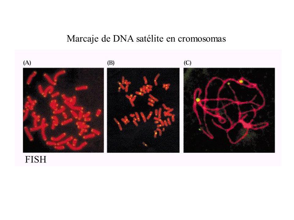 Marcaje de DNA satélite en cromosomas