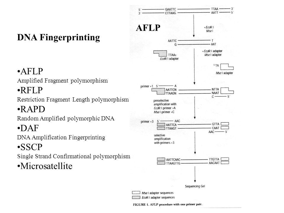 AFLP DNA Fingerprinting AFLP RFLP RAPD DAF SSCP Microsatellite