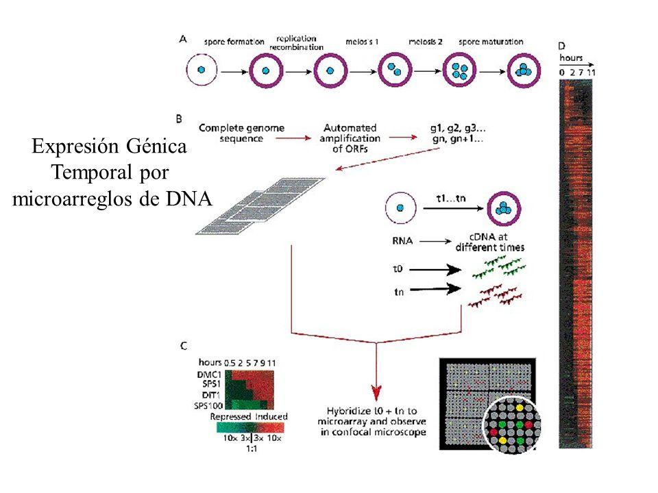 Expresión Génica Temporal por microarreglos de DNA