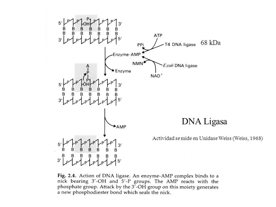 68 kDa DNA Ligasa Actividad se mide en Unidase Weiss (Weiss, 1968)