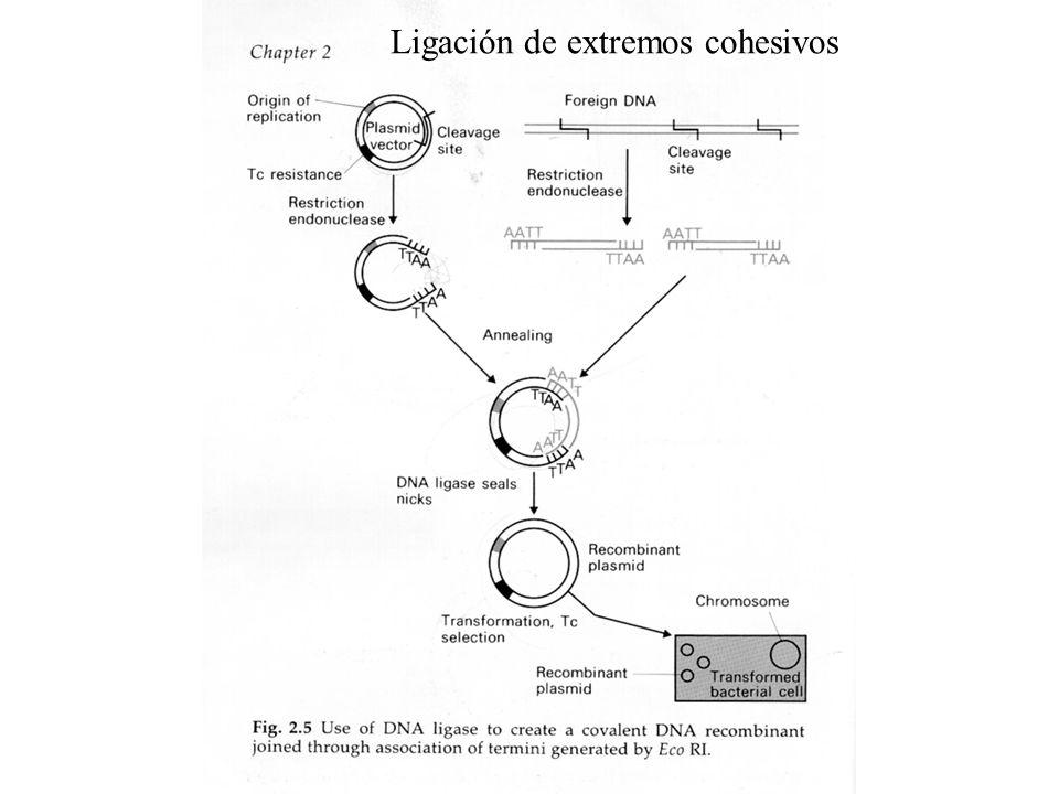 Ligación de extremos cohesivos