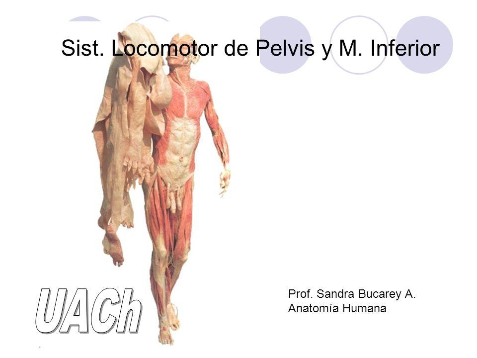 Sist. Locomotor de Pelvis y M. Inferior - ppt video online descargar