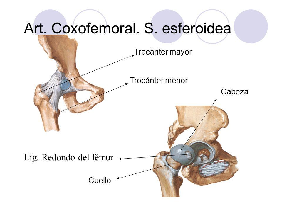 Art. Coxofemoral. S. esferoidea