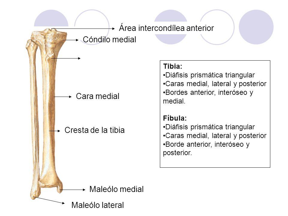 Área intercondílea anterior Cóndilo medial