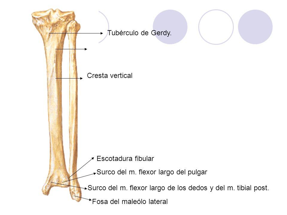 Tubérculo de Gerdy. Cresta vertical. Escotadura fibular. Surco del m. flexor largo del pulgar.