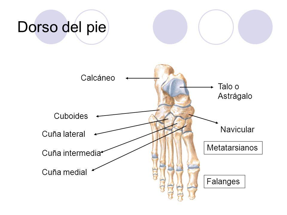Dorso del pie Calcáneo Talo o Astrágalo Cuboides Navicular