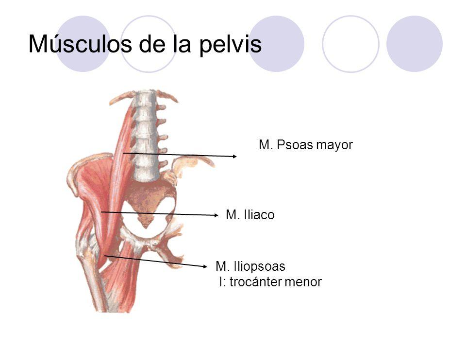 Músculos de la pelvis M. Psoas mayor M. Iliaco M. Iliopsoas
