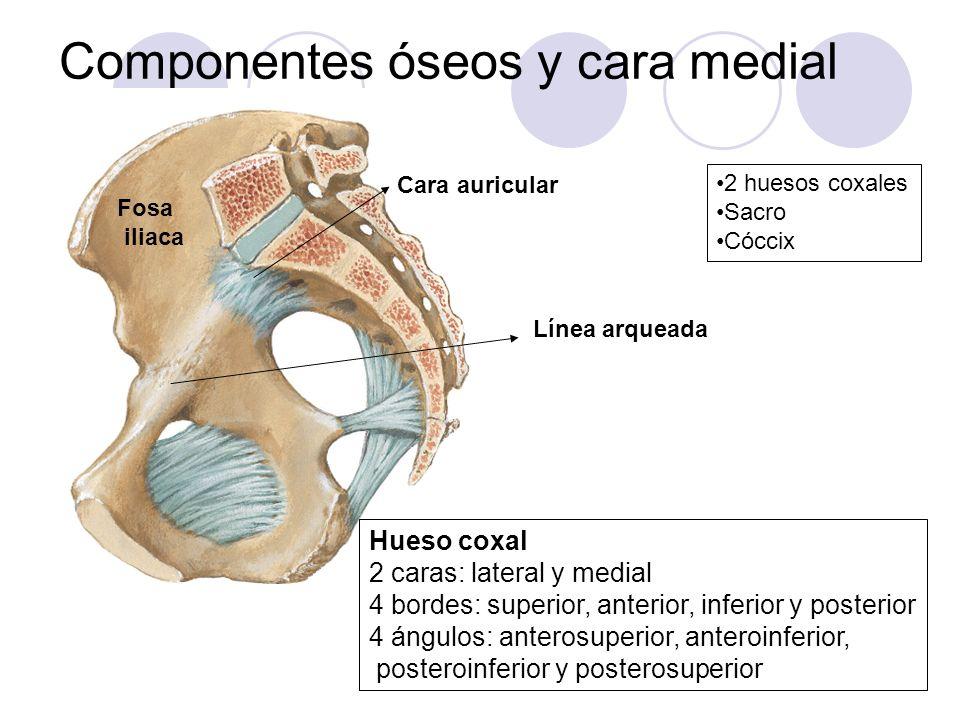 Componentes óseos y cara medial
