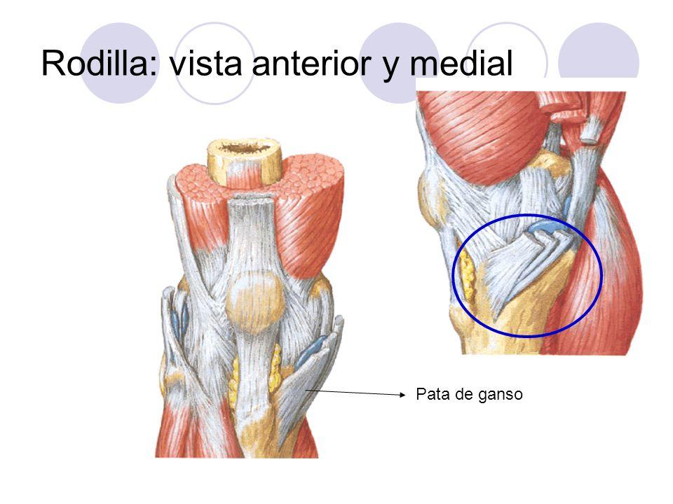 Rodilla: vista anterior y medial