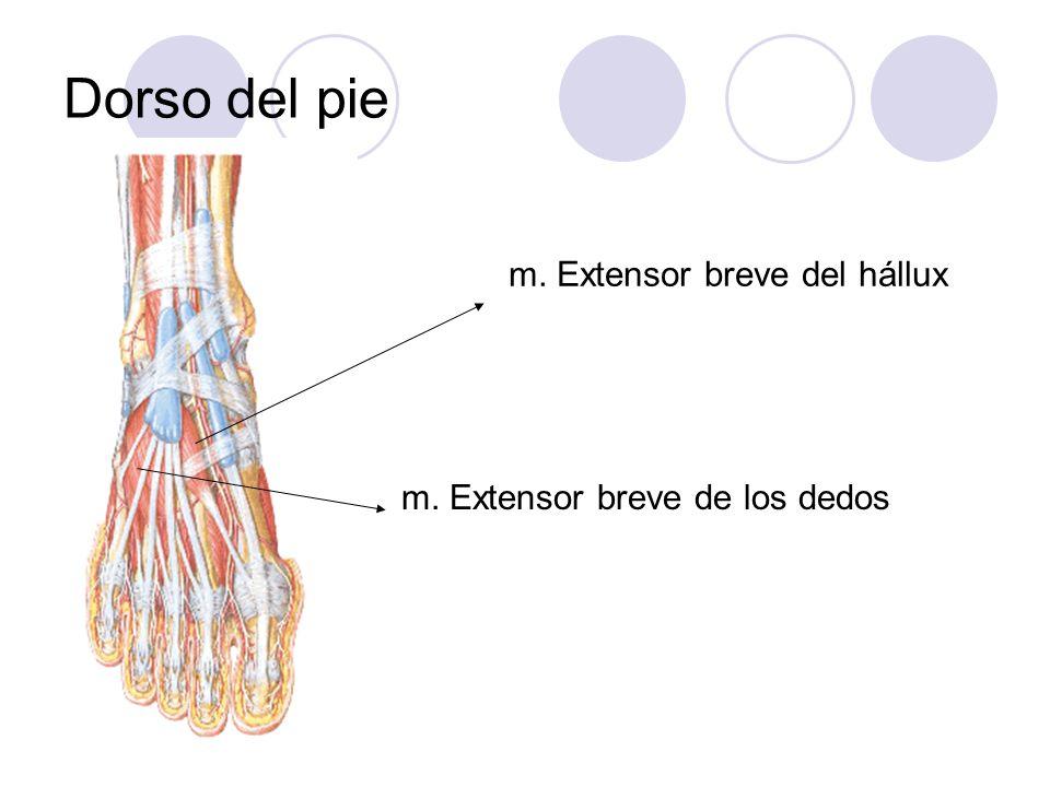 Dorso del pie m. Extensor breve del hállux