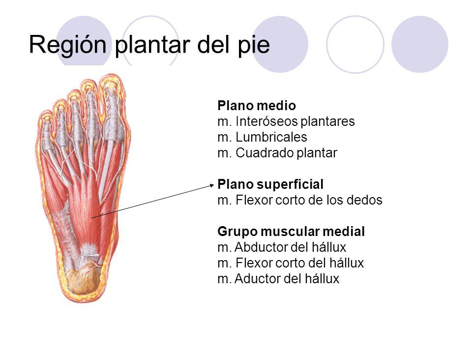 Región plantar del pie Plano medio m. Interóseos plantares