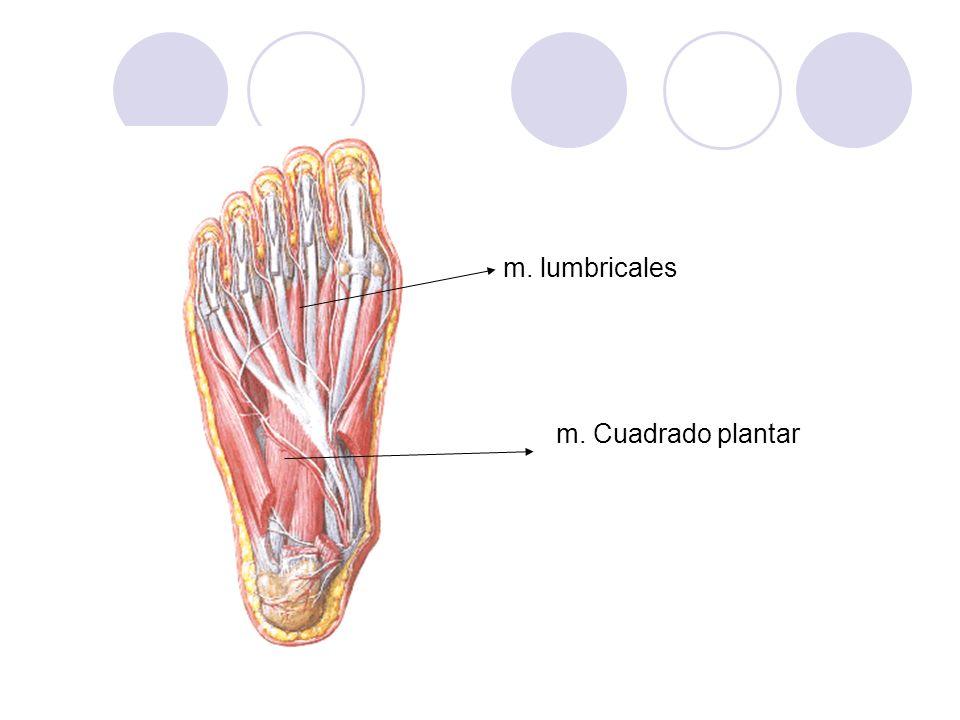 m. lumbricales m. Cuadrado plantar