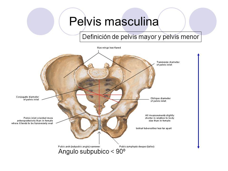 Pelvis masculina Definición de pelvis mayor y pelvis menor