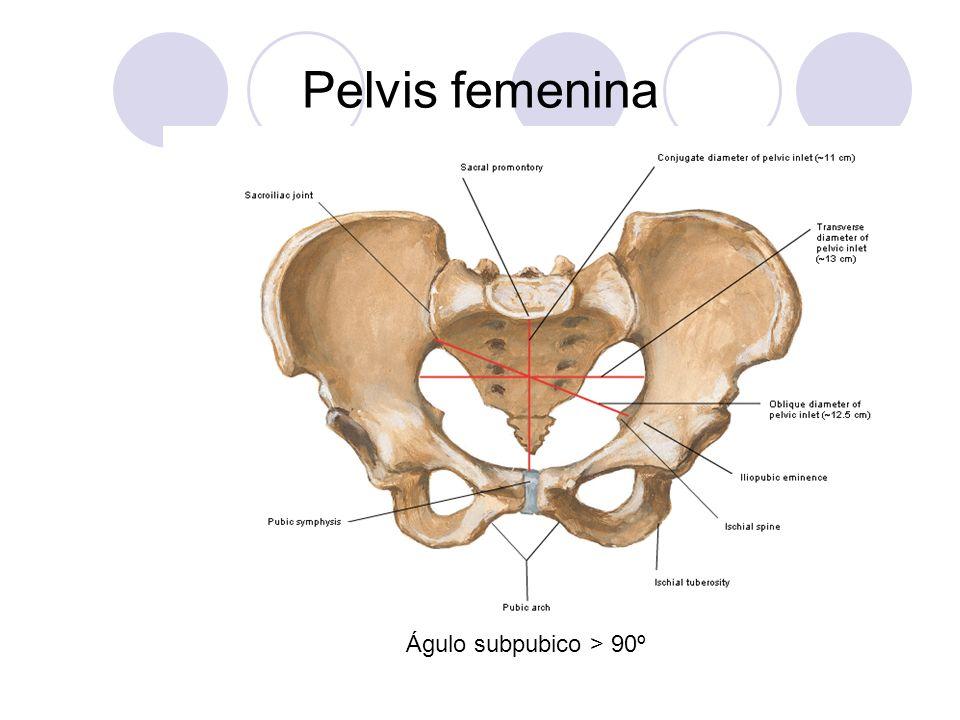 Pelvis femenina Águlo subpubico > 90º