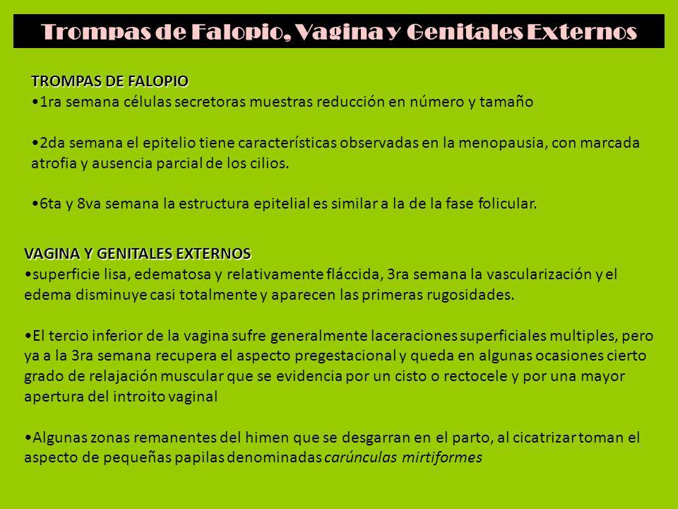 Trompas de Falopio, Vagina y Genitales Externos