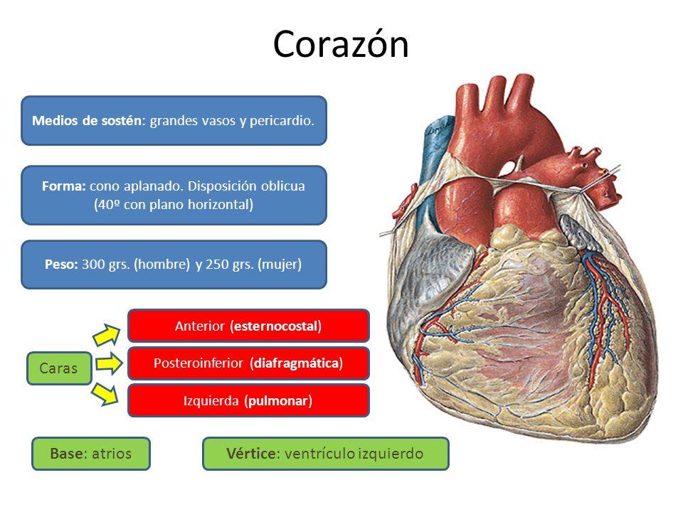 Corazón Caras Base: atrios Vértice: ventrículo izquierdo