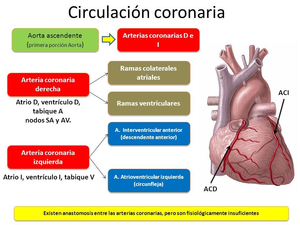 Circulación coronaria