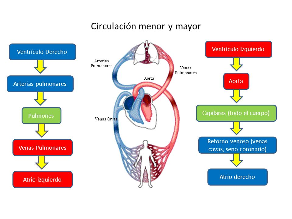 Circulación menor y mayor