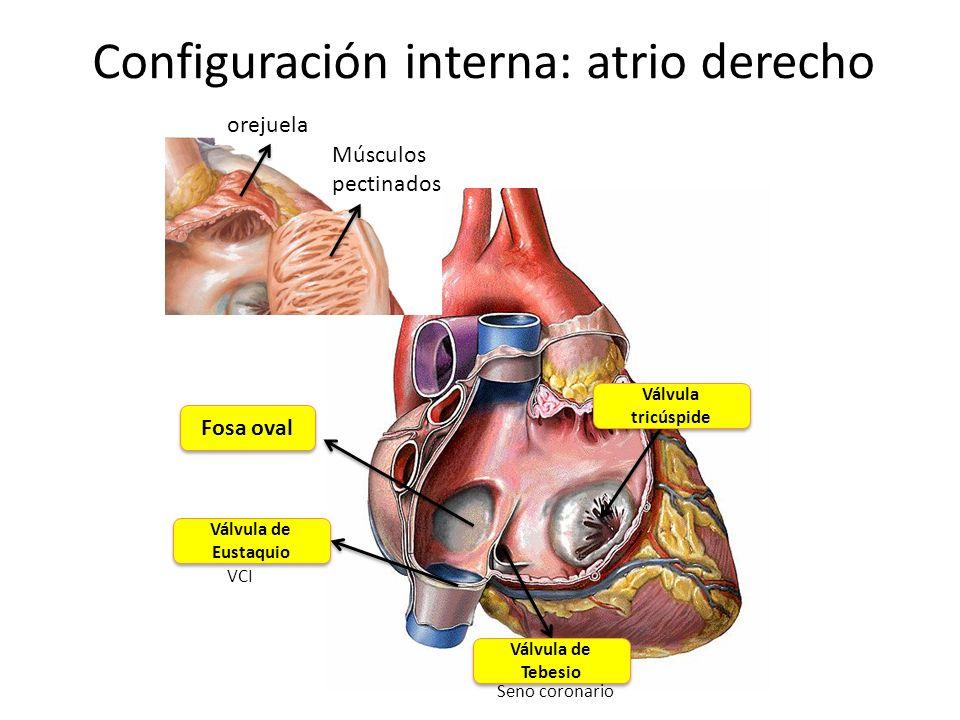 Configuración interna: atrio derecho
