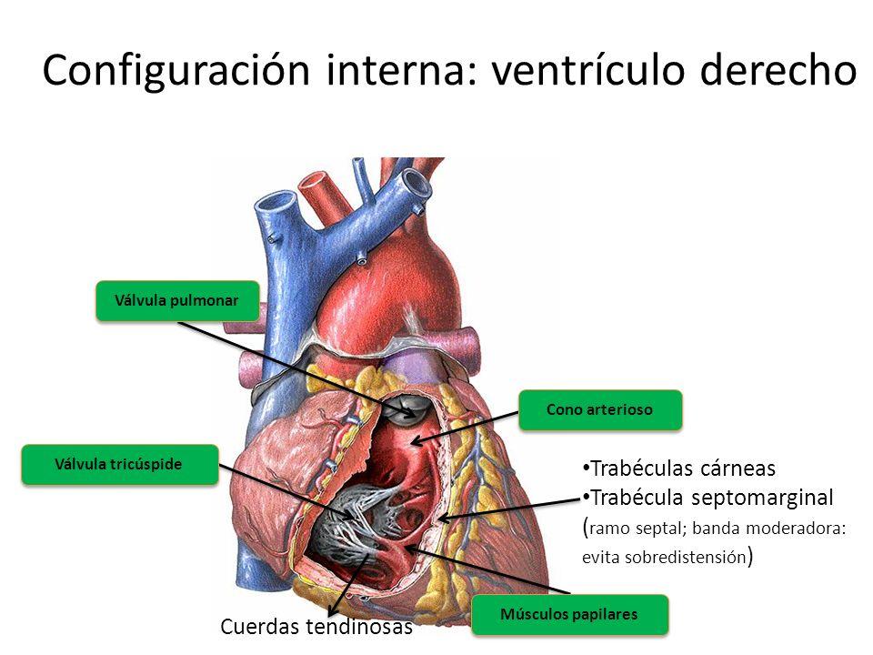 Configuración interna: ventrículo derecho