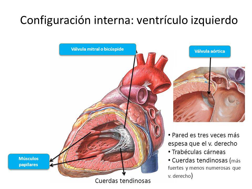 Configuración interna: ventrículo izquierdo