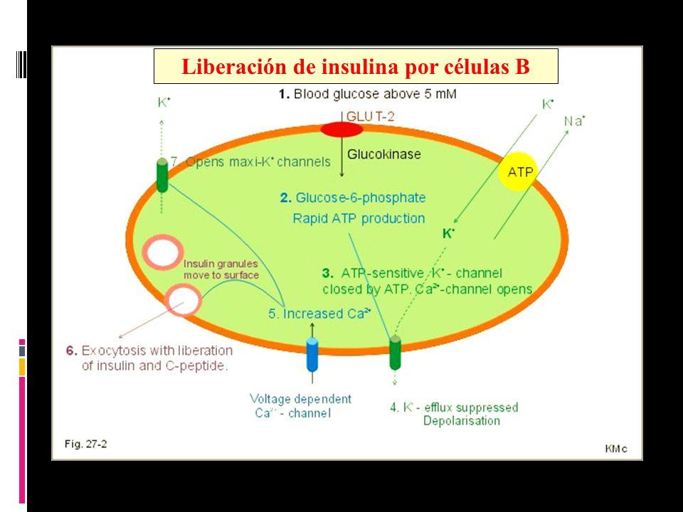 Liberación de insulina por células B