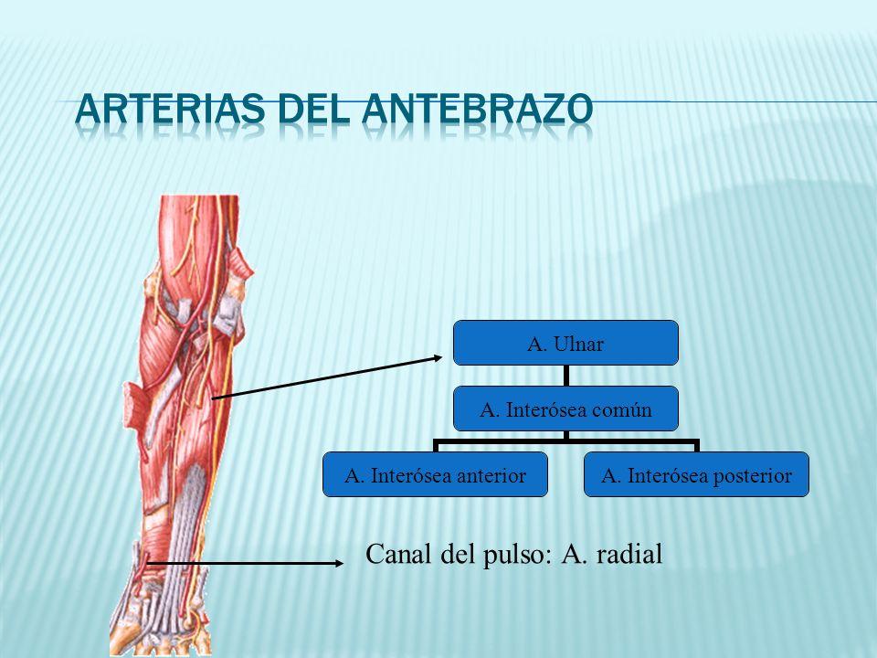 Arterias del antebrazo