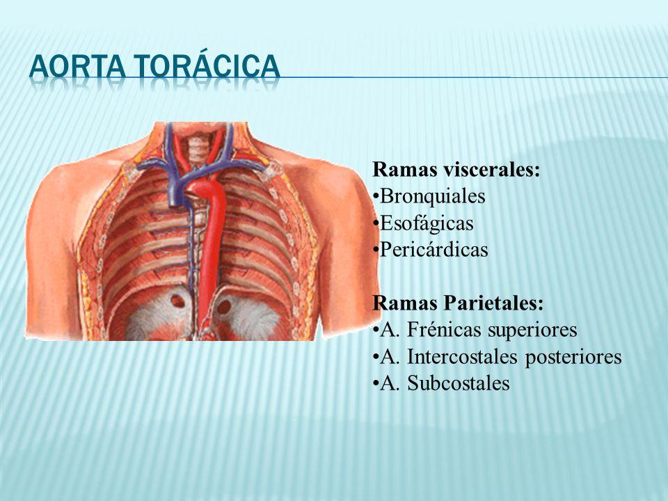 Aorta Torácica Ramas viscerales: Bronquiales Esofágicas Pericárdicas