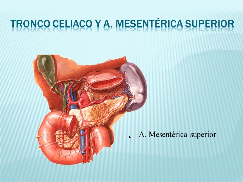 Tronco celiaco y A. Mesentérica superior
