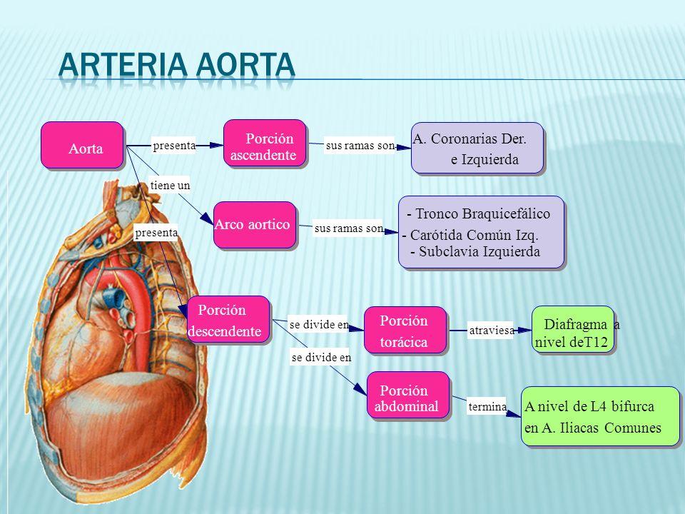 Arteria Aorta Porción ascendente Aorta Arco aortico descendente