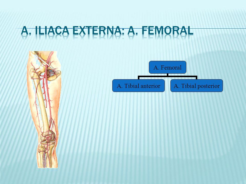 A. Iliaca Externa: A. Femoral