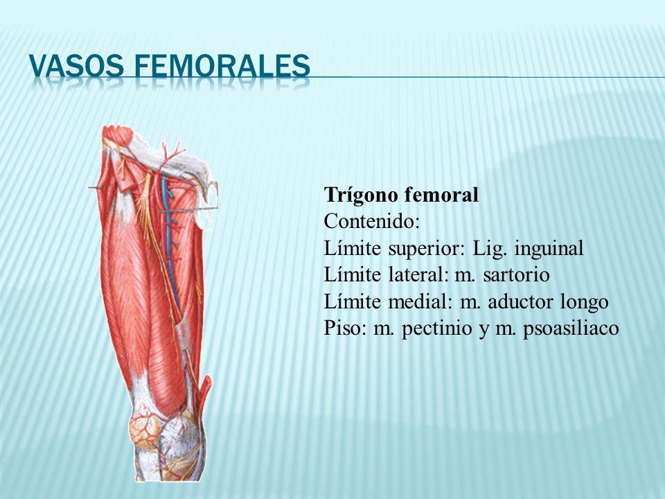 Vasos femorales Trígono femoral Contenido: